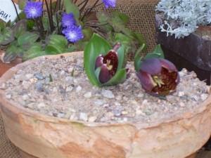 Fritillaria latifolia