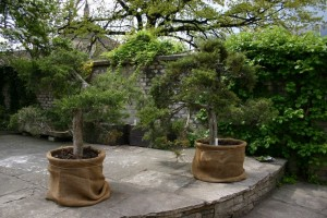 Juniperus virginiana 'Tripartita'