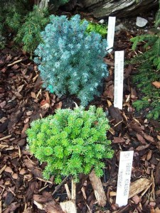 Picea glauca 'Anerson Blue Variegata', Abies koreana 'Pinocchio'
