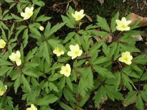 Anemone lipsaensis Pallida