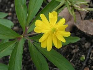 Anemone ranunculoides Plena