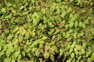 Epimedium cantabrigiense