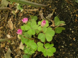 Oxalis oregona smallii
