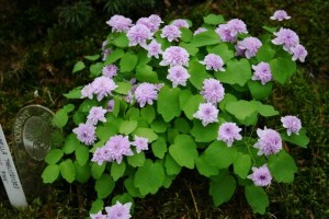 Anemonella thalictroides 'Pink'