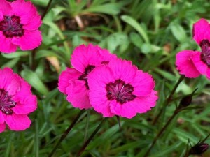 Dianthus alpinus 'Jean's Blood'