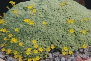 Dionysia tapetodes (Farinosní forma)