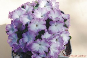 Primula 'Allendale Moonbeam'