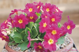 Primula 'Pear Drop'
