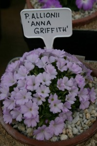 Primula allionii 'Anna Griffith'