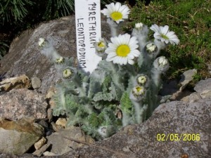 Pyrethrum leontopodium