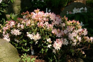 Rhododendron 'Giny Gee'