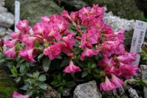 Rhododendron 'Oban'