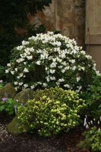 Rhododendron kamtschaticum